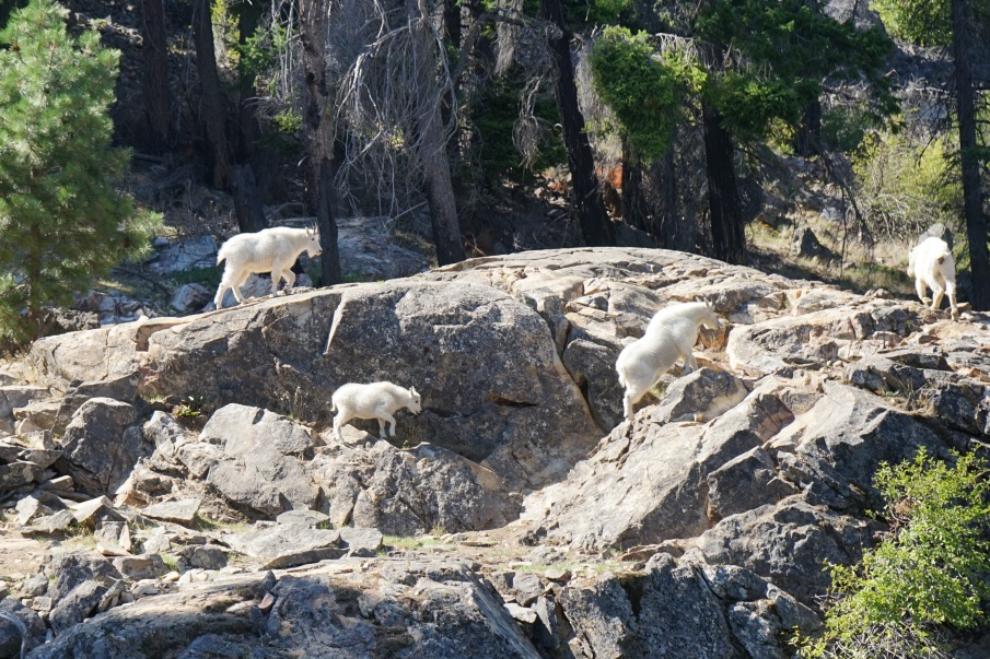 Chelan Mountain Goats