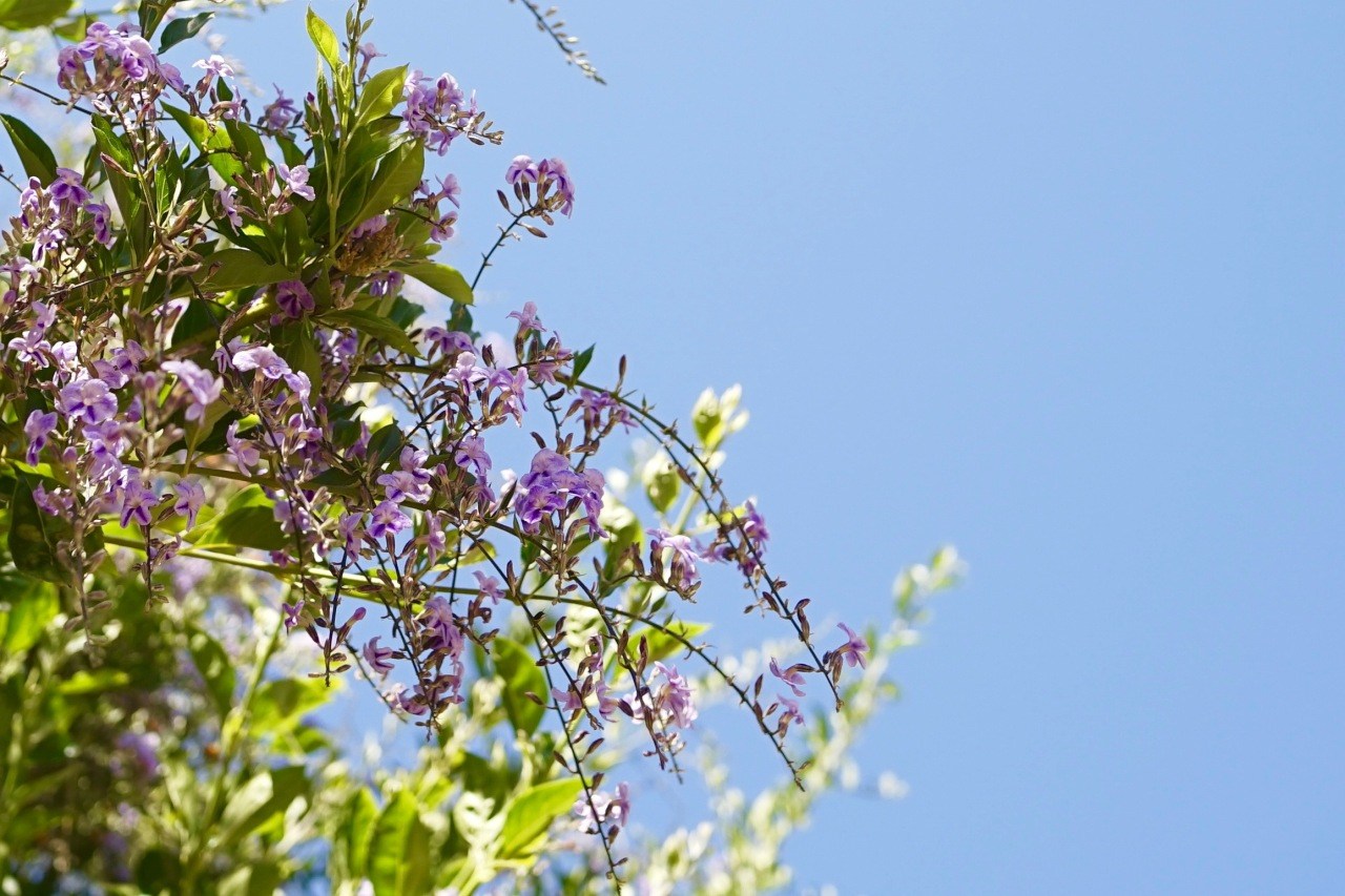 Duranta Erecta Sweet Memories Tree ~ Southern California Garden Tour