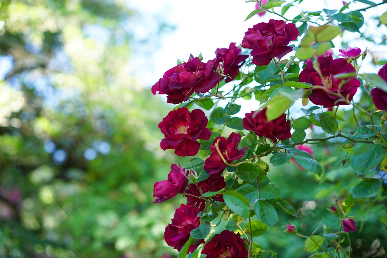 Wine-colored-climing-roses