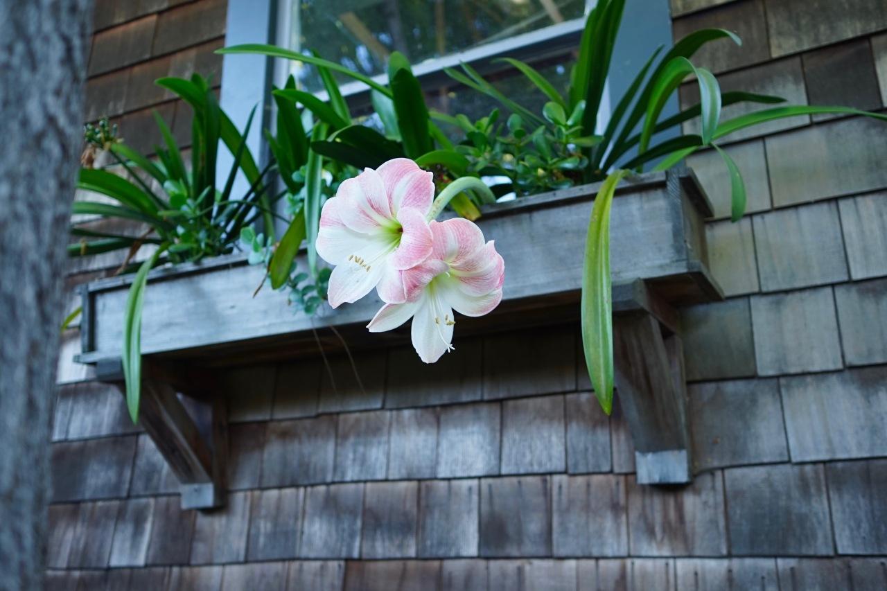 Lilies in window box